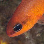 4fa1359eb21fe_cardinal_fish_portrait